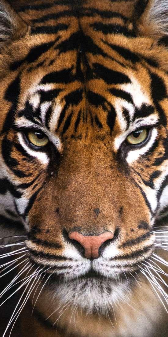 Osuška Tygr 70x140 cm