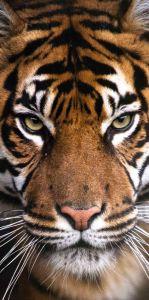 Se zvířecím motivem kvalitní dětská plážová bavlněná osuška Tygr, Jerry Fabrics